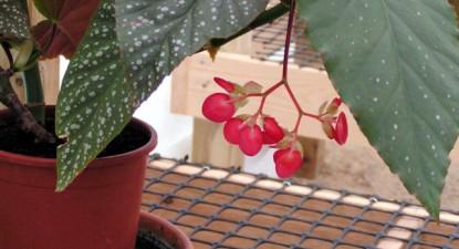 """Cum se îngrijeşte corect  """"Plămânul"""" (Begonia lucernae) - 0456932dafd6f6b56f142efaa19ea8ed.jpg"""