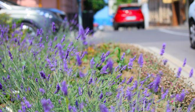 Jardinierele din mai multe zone din oraș, decorate cu flori de lavandă - 1-1593006897.jpg