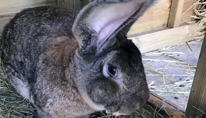 BBC: A fost furat cel mai mare iepure din lume - 118004339dariusnew-1618302808.jpg