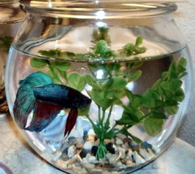 Foto: Cum se acomodeaz� pe�ti�orii cu apa din acvariu