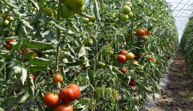 Foto: 15.337 de producători de tomate au depus cereri de sprijin financiar