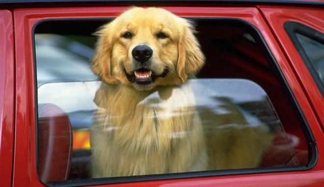 Foto: Plimbarea câinelui cu maşina, un calvar?
