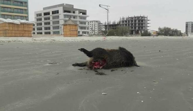 Foto: IMAGINI ŞOCANTE! Porci mistreţi morţi şi sfâşiaţi, pe plaja din Mamaia