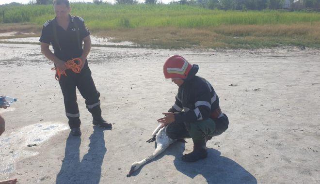 Lebădă salvată de pompieri - 29iunielebadasalvata-1593422207.jpg