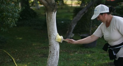 Foto: Primăria Constanţa oferă cinci miliarde de lei vechi pentru văruitul copacilor