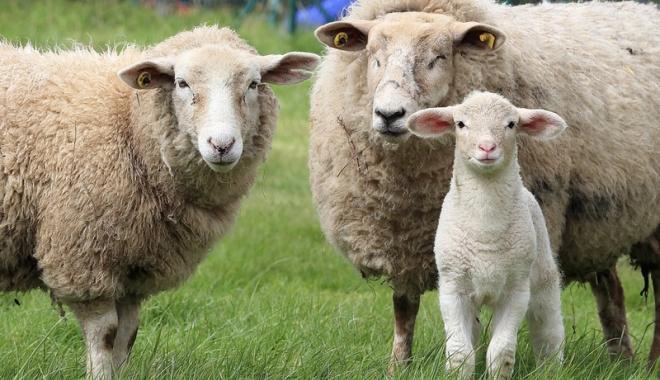 Foto: 32.000 de fermieri s-au înscris la ajutorul pentru comercializarea lânii