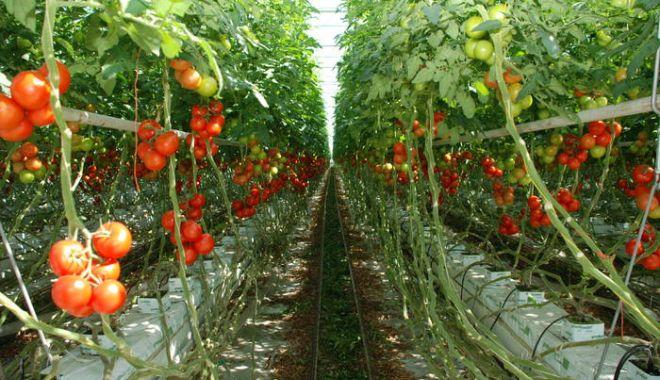 Foto: 3.353 de fermieri au primit ajutorul de minimis pentru cultivarea tomatelor