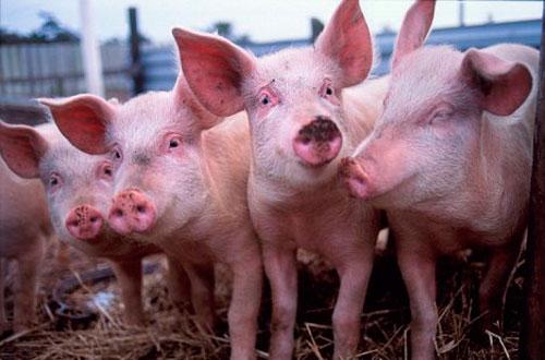 Foto: Noi recomandări din partea Comisiei Europene în privinţa pestei porcine