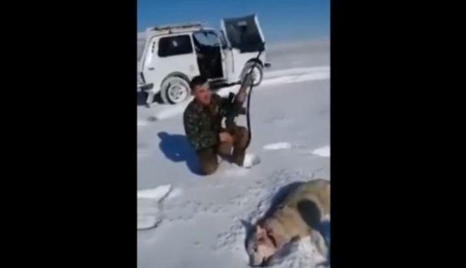 Foto: VIDEO INCREDIBIL! Un lup împuşcat s-a prefăcut mort şi a atacat un vânător