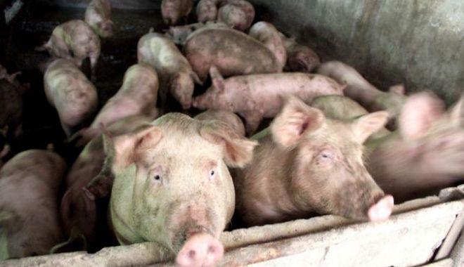 Foto: Zeci de mii de porci, sacrificaţi după confirmarea virusului Pestei Porcine Africane într-o exploataţie din Tulcea