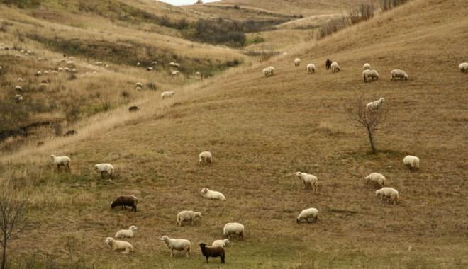 Foto: Boala limbii albastre loveşte DUR! Vacile și oile românești, interzise în UE!