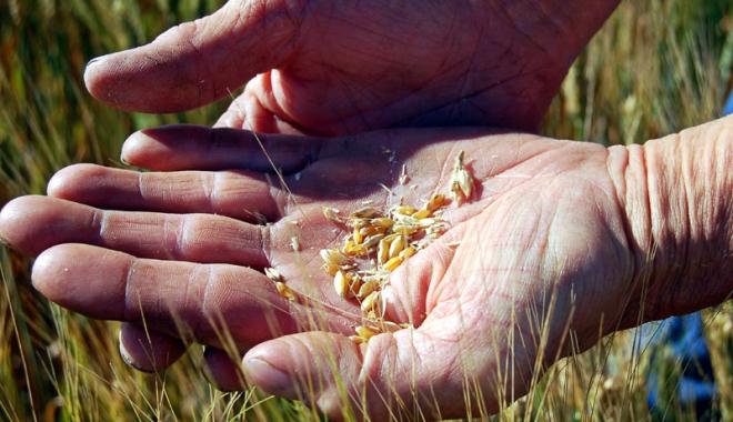 Foto: Agricultorii trebuie să negocieze dur cu angrosiştii de cereale