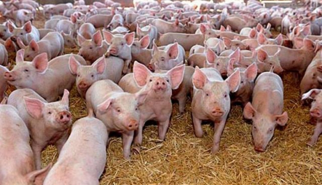 Foto: Ajutor de minimis pentru crescătorii de porcine