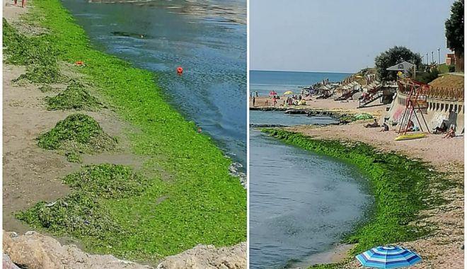 Foto: Zeci de tone de alge, adunate de pe litoral.