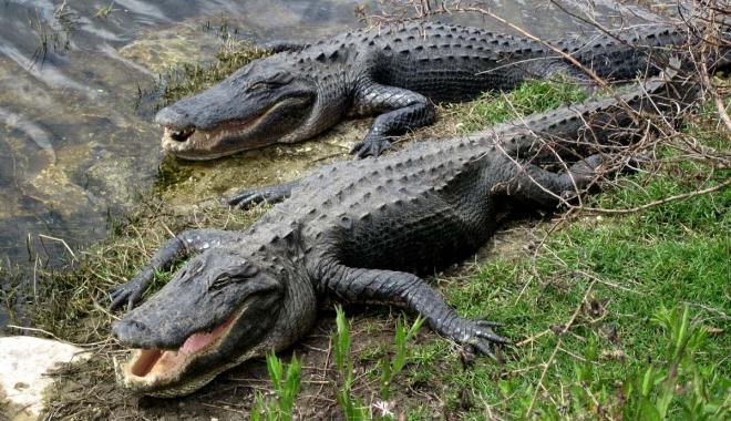CAZ CUTREMURĂTOR. O fetiţă a scăpat din fălcile unui aligator datorită unui sfat învăţat într-un parc de atracţii