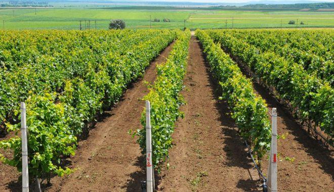 Producătorii din sectorul viniviticol pot primi bani dacă recoltează strugurii înainte de coacere - apia-1624033166.jpg
