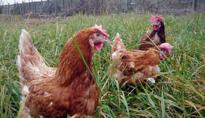 Găini vii la un preţ convenabil, la Avicola Lumina! - avicolaluminagaini8-1323877931.jpg