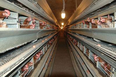 Foto: Din ianuarie nu mai pot fi v�ndute ou� de la g�ini crescute �n baterii