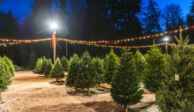 Romsilva scoate la vânzare 40.000 de brazi de Crăciun. Care sunt prețurile de anul acesta - brad-1573994170.jpg