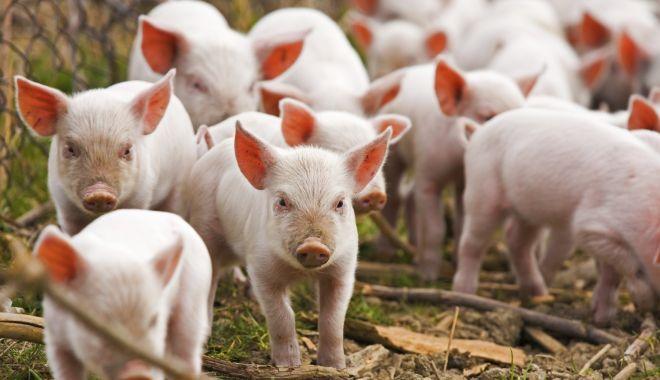 """Foto: """"Săptămâna viitoare vom intra în Guvern cu propunerea de act normativ privind despăgubirile pentru pesta porcină"""""""