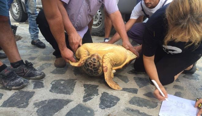 Foto: Broască ţestoasă uriaşă,  unică în România,  descoperită pe plaja din Vadu
