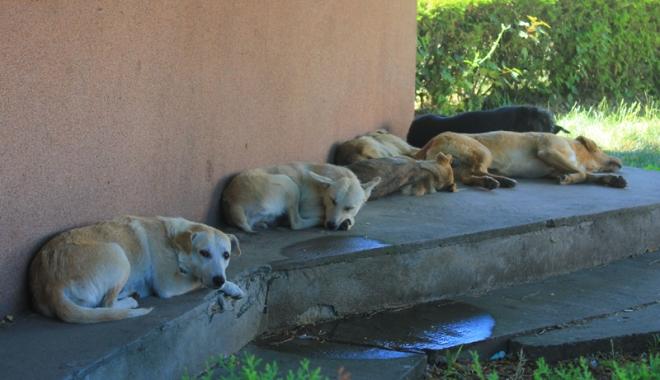 Invazia maidanezilor la Constanţa. Câinii fără stăpân terorizează cartiere întregi - cainicomunitari2-1468945768.jpg