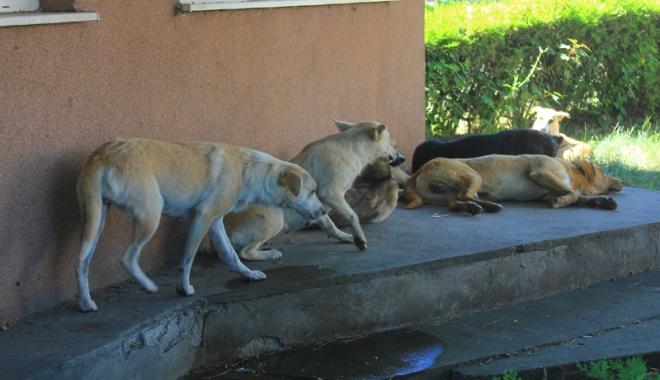 Invazia maidanezilor la Constanţa. Câinii fără stăpân terorizează cartiere întregi - cainicomunitari3-1468945775.jpg