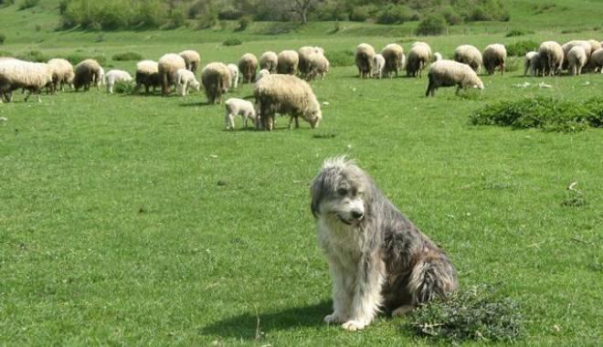 Foto: Acord privind numărul de câini la stână
