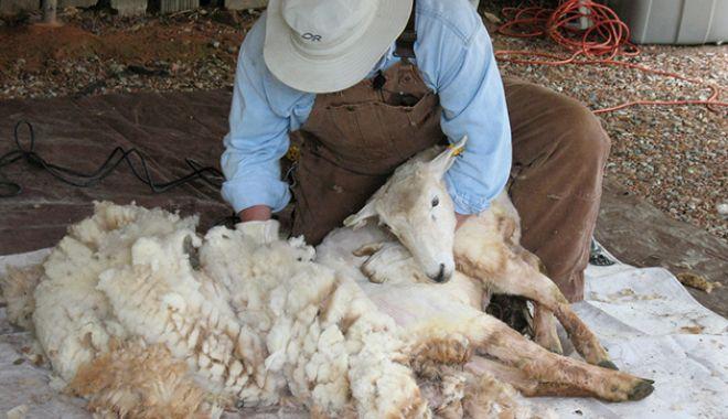 Foto: Ajutorul de minimis pentru comercializarea lânii se acordă și în 2019