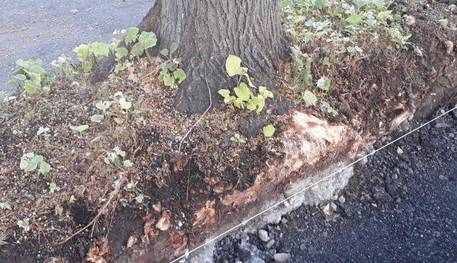 Constănțenii, revoltați că se distrug rădăcinile teilor de pe Bulevardul Tomis.
