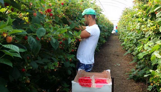 Foto: Joburi în străinătate. Culegătorii de fructe și legume, la mare căutare