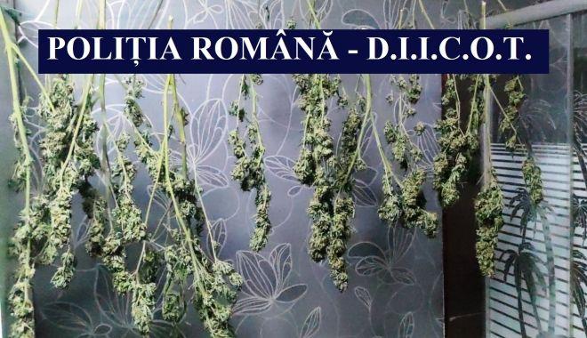 Cultură de cannabis, descoperită de poliţişti, la Cernavodă