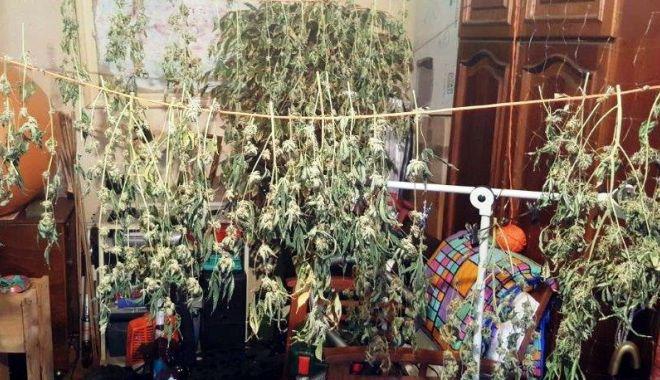 Foto: Cultură de cannabis, în interiorul unui apartament.
