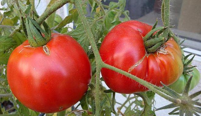 Foto: Ce spune ministerul Agriculturii despre roşiile româneşti existente în prezent pe piaţă