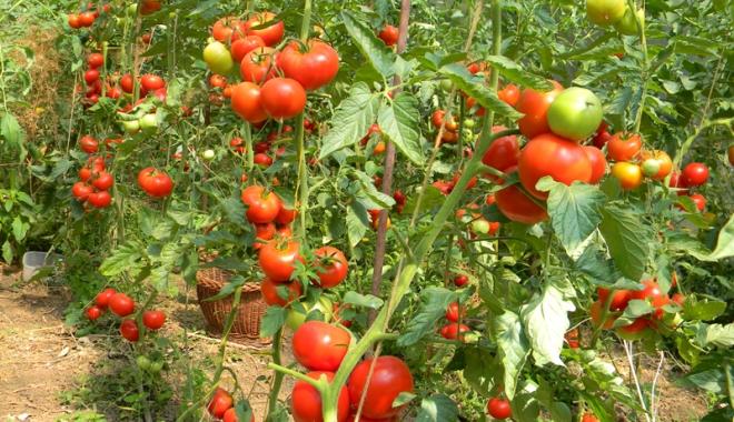 Foto: Primăria Cumpăna, informare  pentru cei  care vor să obţină  subvenţia la tomate
