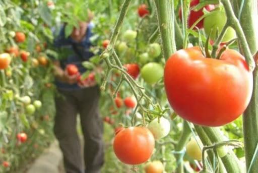 Reziduuri de pesticide peste norma admisă, depistate într-o probă de tomate - ddd-1581784277.jpg