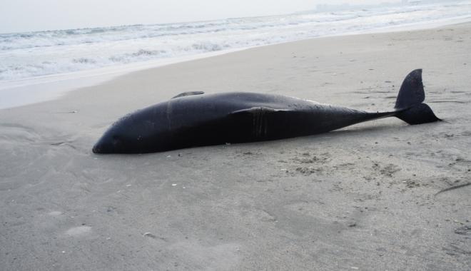 Foto: Situaţie alarmantă pe litoral. Patru delfini eşuaţi, în ultima perioadă