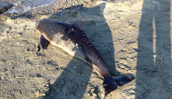 Foto: Galerie foto. Delfin eșuat pe Plaja Modern
