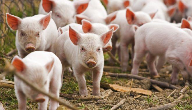 Foto: Fermierii primesc bani pentru porcii sacrificaţi