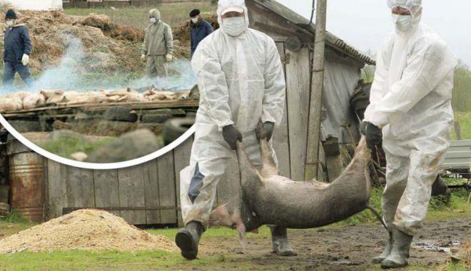 Foto: Despăgubiri pentru pagubele produse de pesta porcină africană