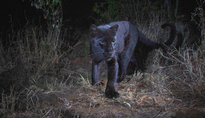 Foto: Pantera neagră, surprinsă în imagini pentru prima dată în 100 de ani
