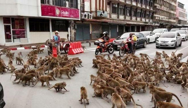 Două bande rivale de maimuţe s-au bătut într-o intersecţie din Thailanda - douabande1-1627648560.jpg