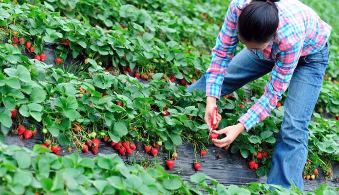Foto: Se caută constănţence pentru munci agricole în Spania