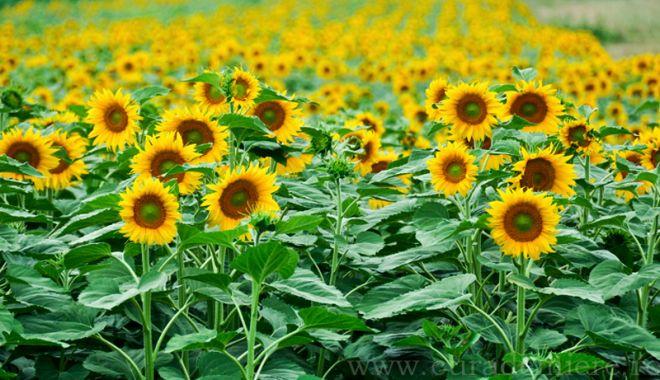 Foto: Se caută culegători de floarea soarelui