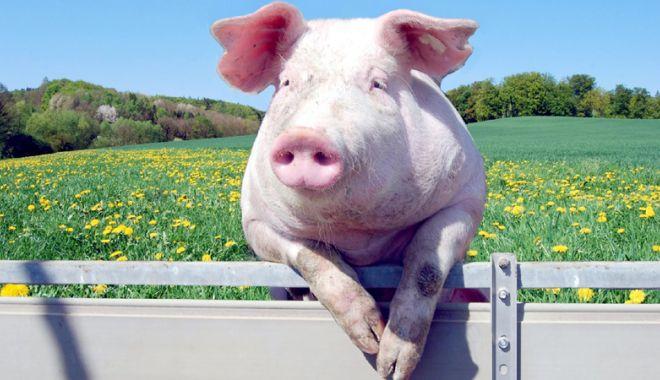Foto: Muncitorii în fermele de porci, la mare căutare în Spania