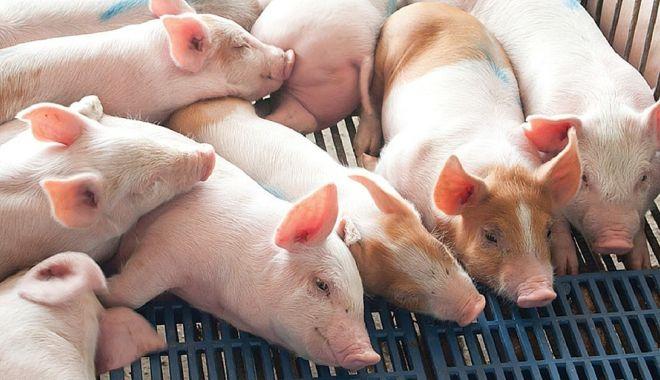 Foto: Focar de pestă porcină, la Constanța! Ce zonă este afectată