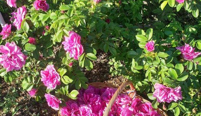 O afacere mai puţin întâlnită. Petalele de trandafiri nu vă îmbogăţesc, dar vă parfumează viaţa - fond3-1623085113.jpg