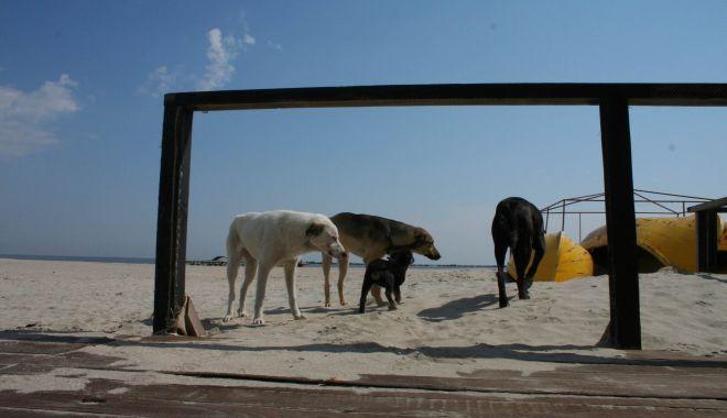 """Haite de câini, """"de pază"""" pe plaja Mamaia. """"Pun în pericol viaţa trecătorilor!"""" - fondcaini6-1612292603.jpg"""