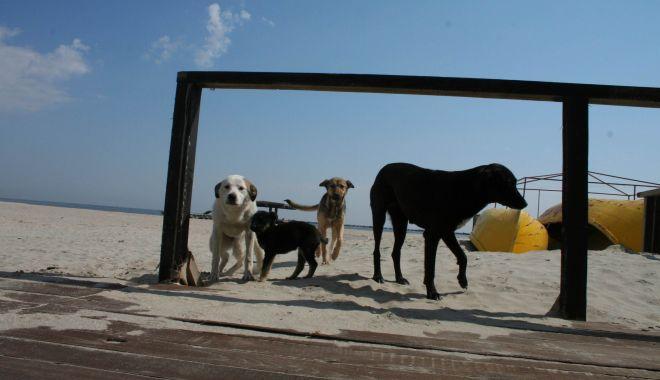 """Haite de câini, """"de pază"""" pe plaja Mamaia. """"Pun în pericol viaţa trecătorilor!"""" - fondcaini7-1612292614.jpg"""