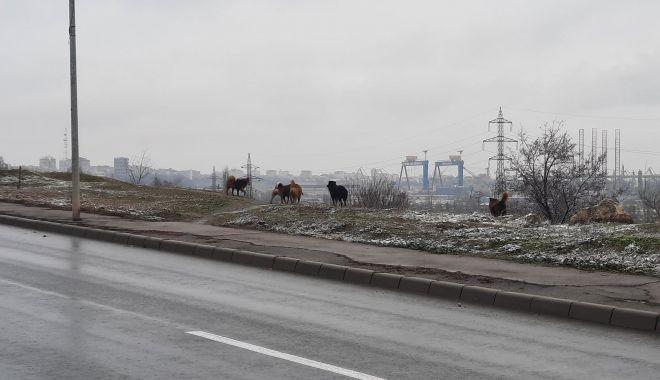 Haitele de maidanezi pun stăpânire pe străzile Constanței - fondcainimaidanezi2-1610547878.jpg
